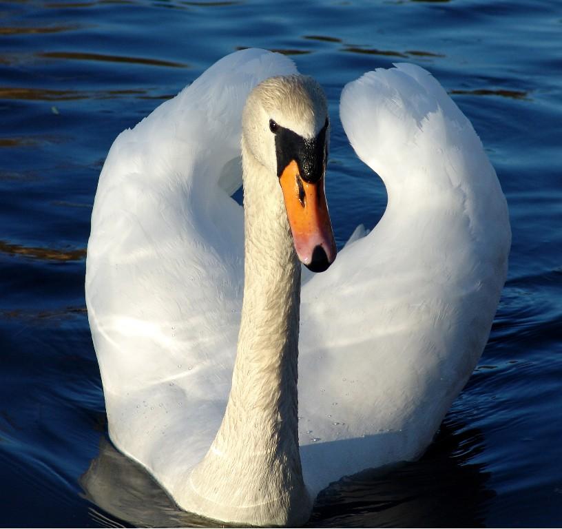 "photo ""swan"" tags: nature, misc., wild animals"
