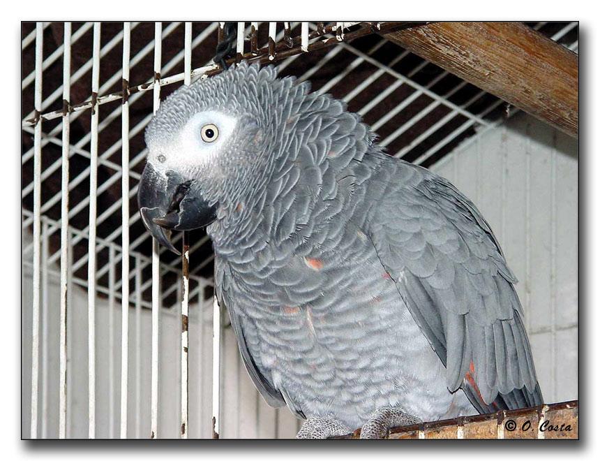 "фото ""Parrot from St. Tome"" метки: природа, путешествия, Африка, дикие животные"