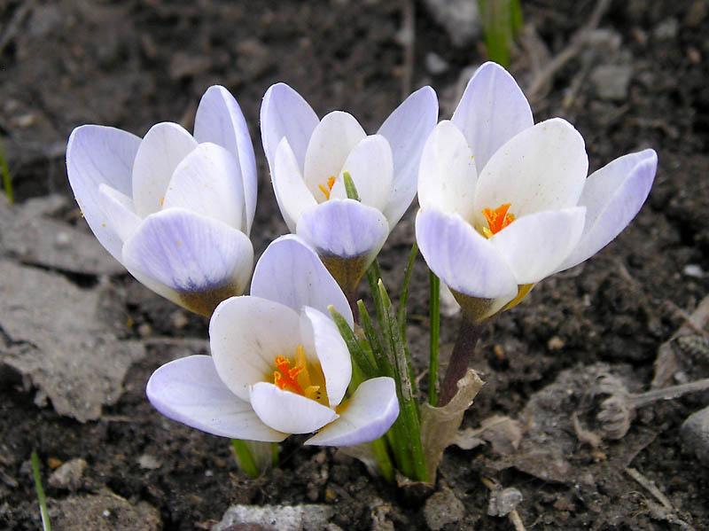 Безымянник цветок выращивание 84