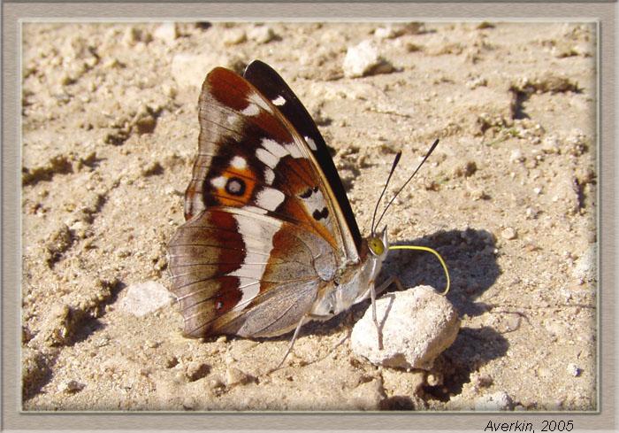 """photo """"Apatura iris"""" tags: nature, macro and close-up, insect"""