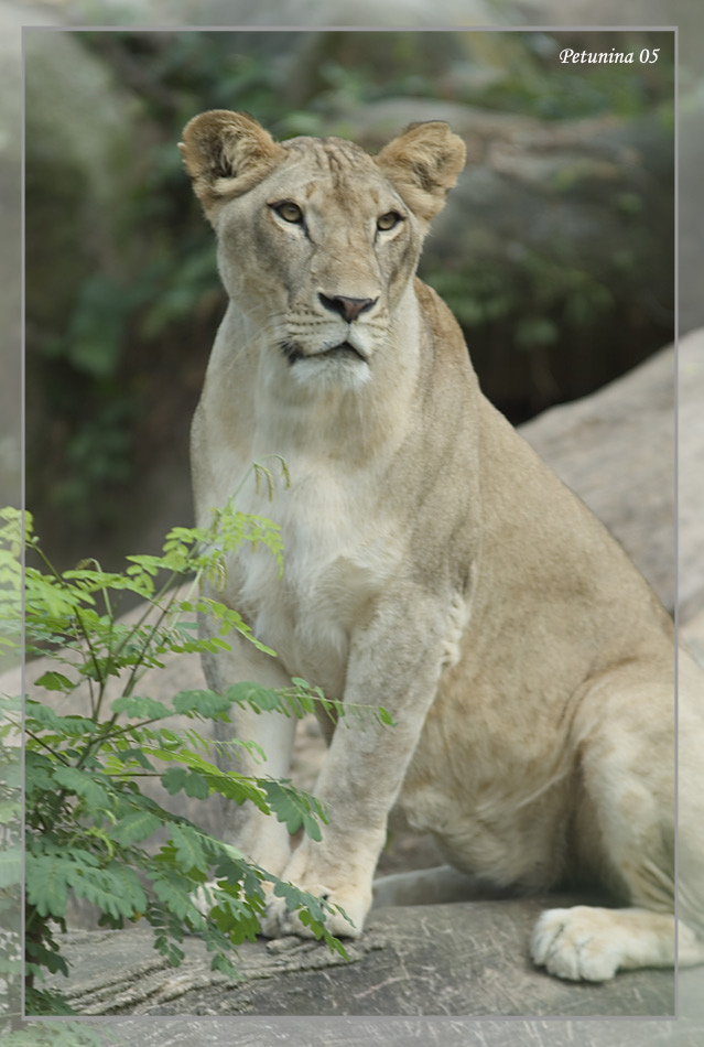 "photo ""Lioness"" tags: travel, Asia"