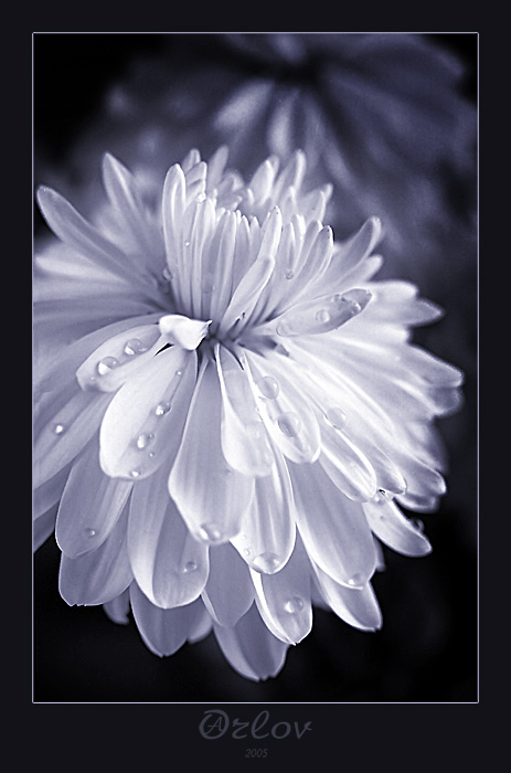 """фото """"про то как плачут забытые цветы"""" метки: природа, макро и крупный план, цветы"""