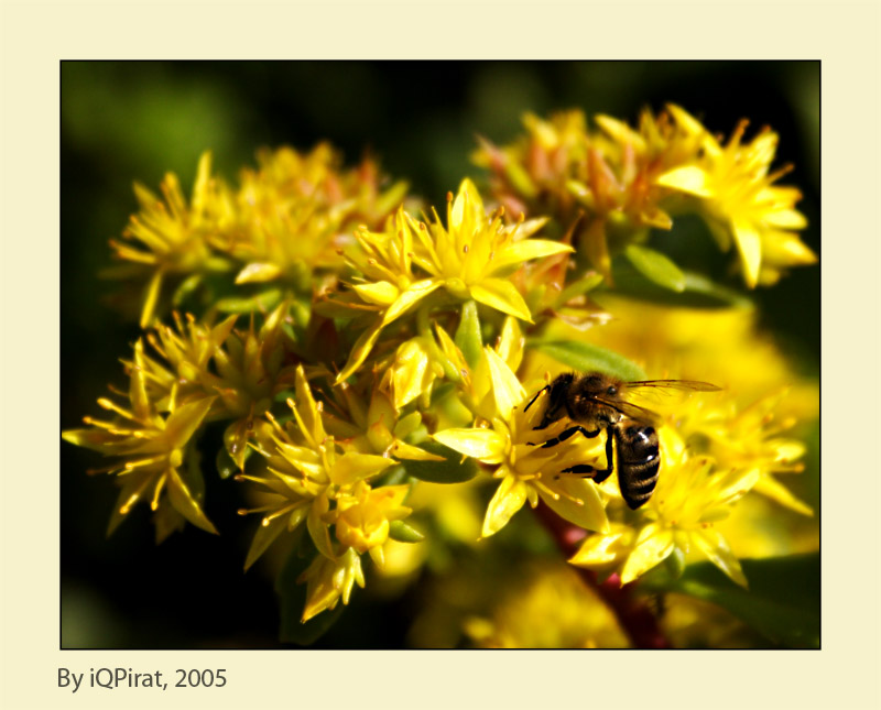 "photo ""Killa bee"" tags: macro and close-up,"