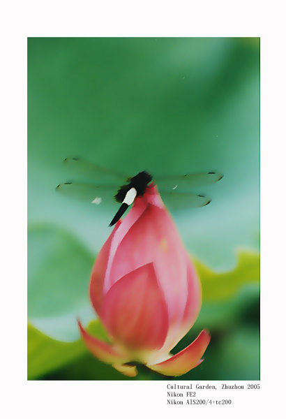"photo ""Lotus and dragonfly"" tags: nature, flowers"