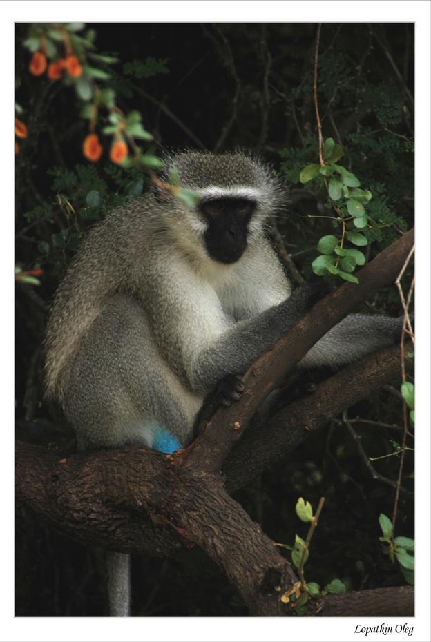 "photo """"Somango monkey"", Kruger National Park (South afri"" tags: misc.,"