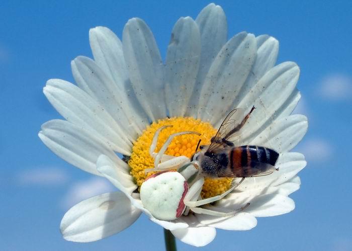 "photo ""Misumena vatia"" tags: nature, insect"