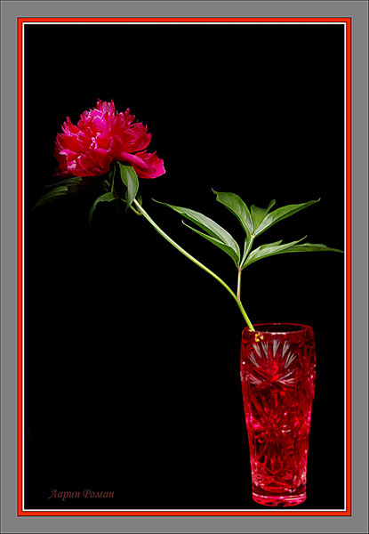 "photo ""Peony"" tags: still life, nature, flowers"