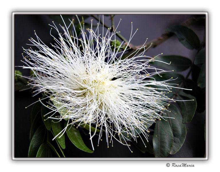 """фото """"Nebula"""" метки: макро и крупный план, природа, цветы"""