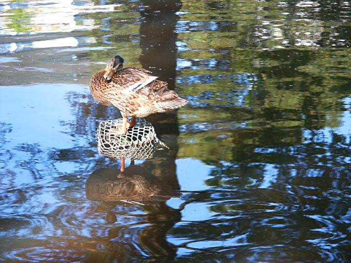 "photo ""Duck superstar"" tags: nature, landscape, pets/farm animals, water"