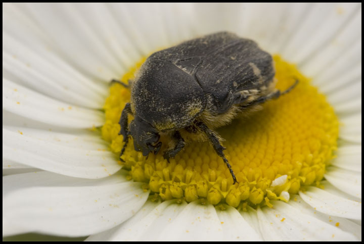 "photo ""The may-bug"" tags: nature, macro and close-up, insect"