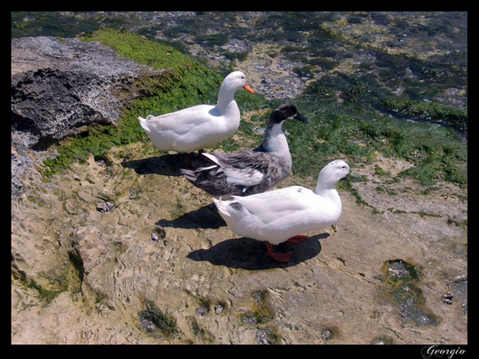 "photo ""Three Ducks"" tags: nature, pets/farm animals"