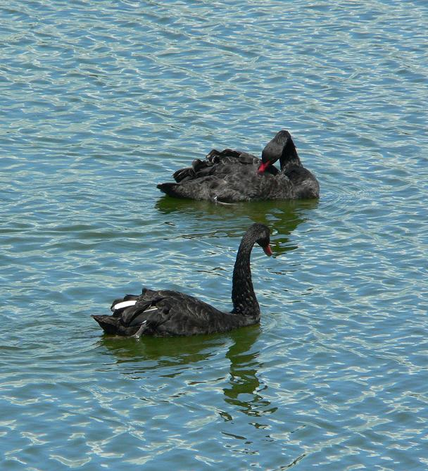 "photo ""Black swans"" tags: nature, wild animals"