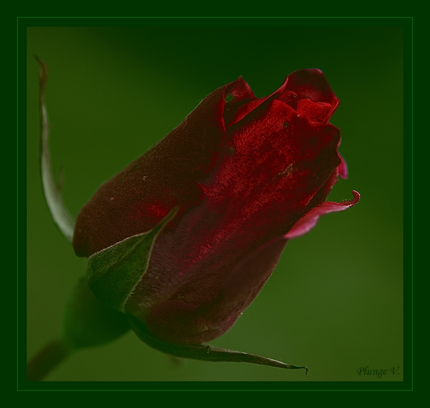 "photo ""Red - Rose - Love...."" tags: nature, montage, flowers"
