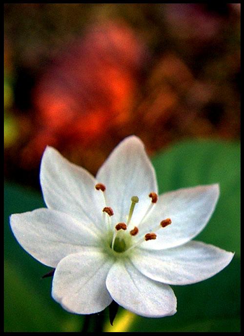 "фото ""Trientalis europaea"" метки: природа, цветы"