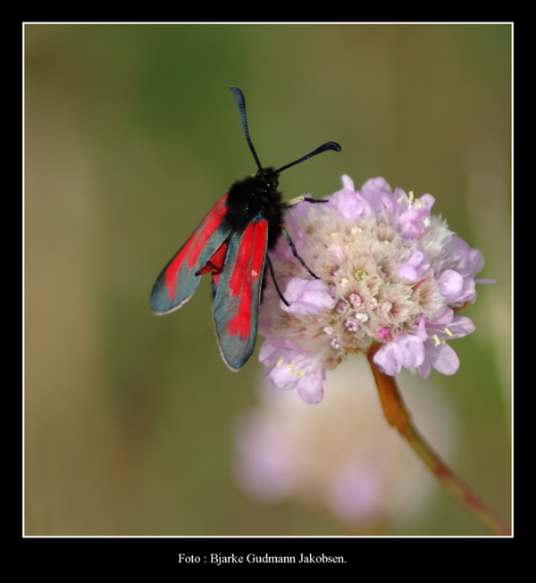 "photo ""Zygaena trifolii"" tags: misc.,"