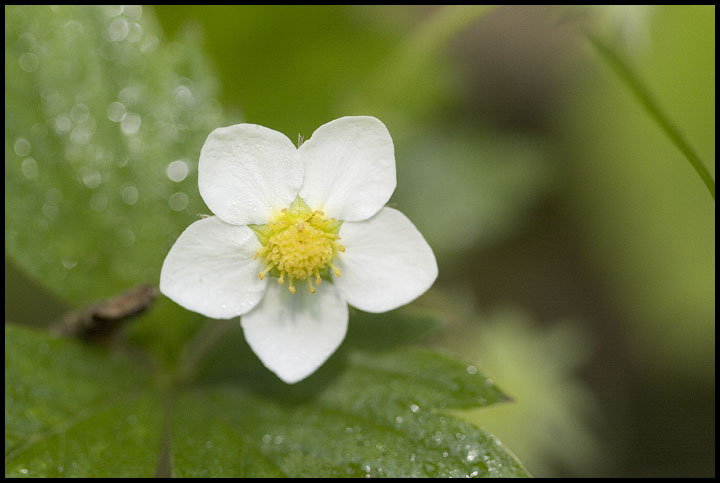 "photo ""Wild strawberry"" tags: nature, macro and close-up, flowers"