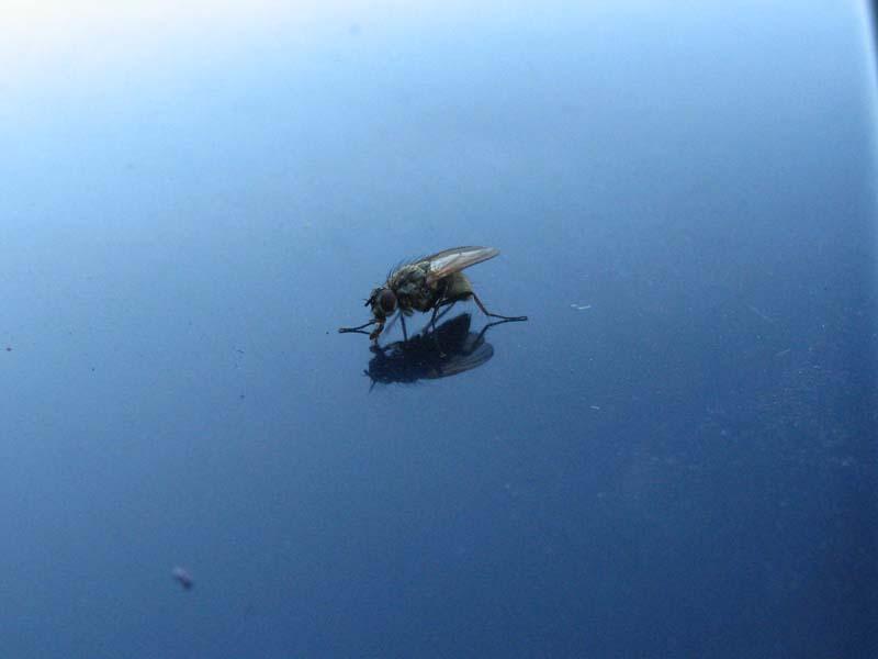 "фото ""муха"" метки: природа, насекомое"