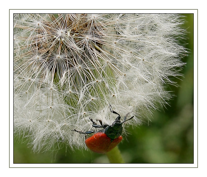 "photo ""Summer trite etude №1"" tags: nature, flowers, insect"