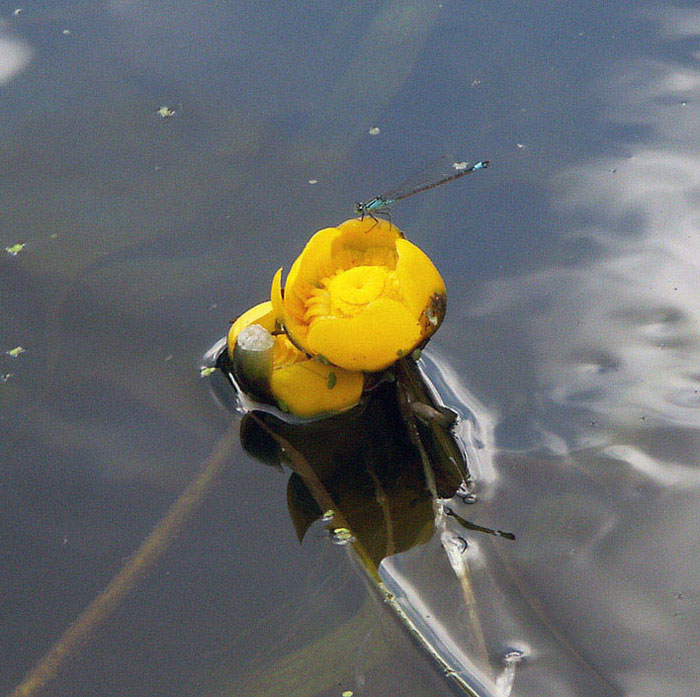 "photo ""Water lily and dragonfly."" tags: nature, flowers, insect"