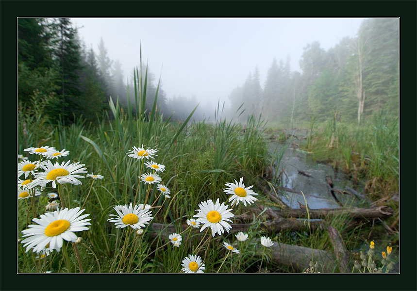 "photo ""Dasies"" tags: landscape, forest, summer"