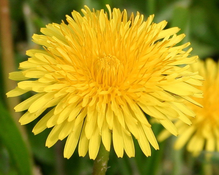 "photo ""Solar dandelion."" tags: nature, macro and close-up, flowers"