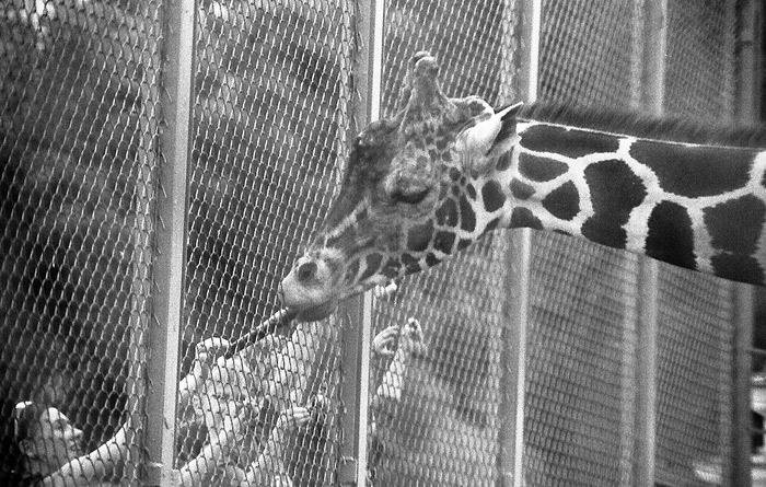 "photo ""Hungry giraffe"" tags: genre, black&white,"