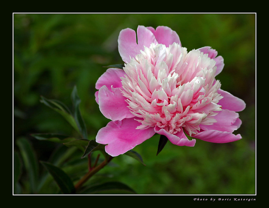"photo ""Peony"" tags: macro and close-up, nature, flowers"