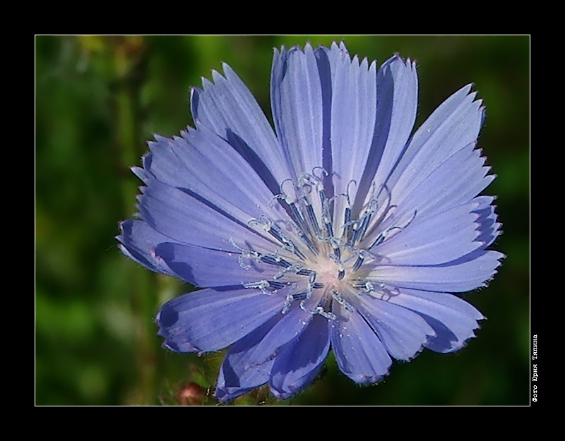 "photo ""Chicory"" tags: nature, macro and close-up, flowers"