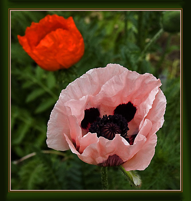 """photo """"Poppy"""" tags: nature, flowers"""