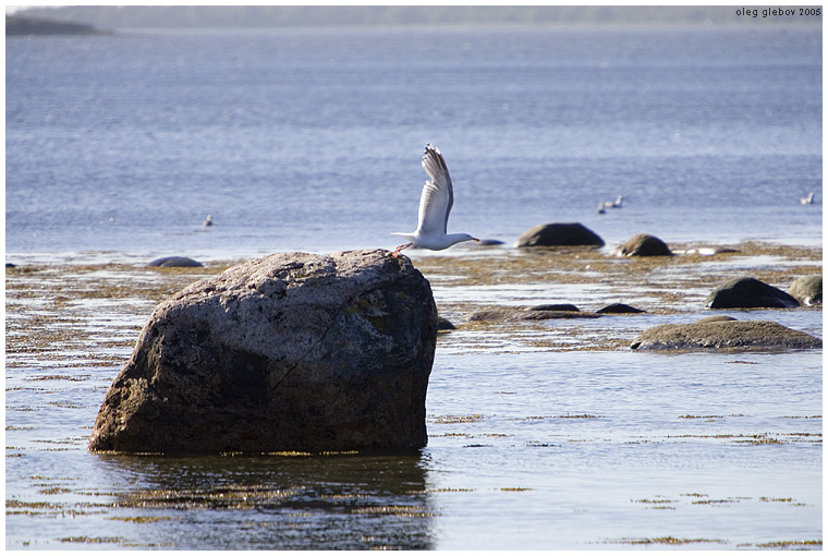 "photo ""Sea gull"" tags: nature, landscape, water, wild animals"