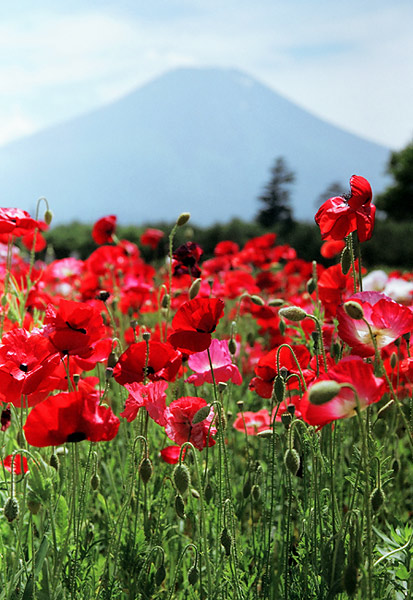 "photo ""Poppies"" tags: nature, landscape, flowers, mountains"