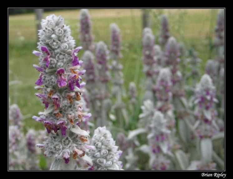 "фото ""Purple Flowers"" метки: природа, цветы"