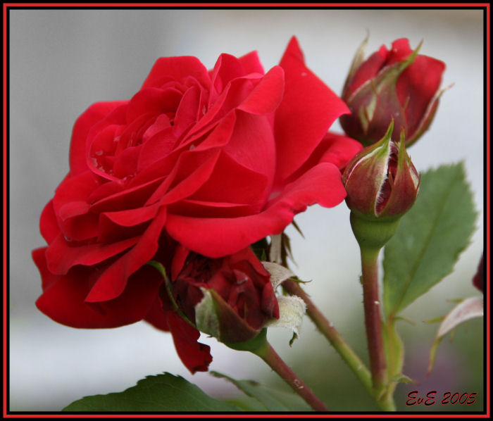 "photo ""Red Rose"" tags: nature, macro and close-up, flowers"