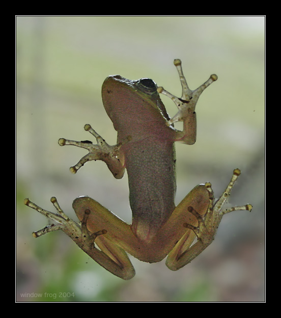 "photo ""Window Frog"" tags: macro and close-up, nature, wild animals"