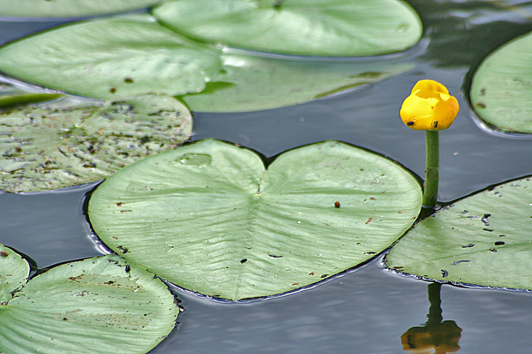 "photo ""Nuphar lutea (Yellow water lily)"" tags: nature, travel, Asia, flowers"