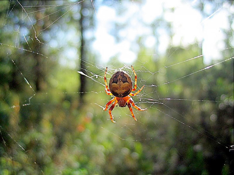 "photo ""Amber spider"" tags: nature, insect"