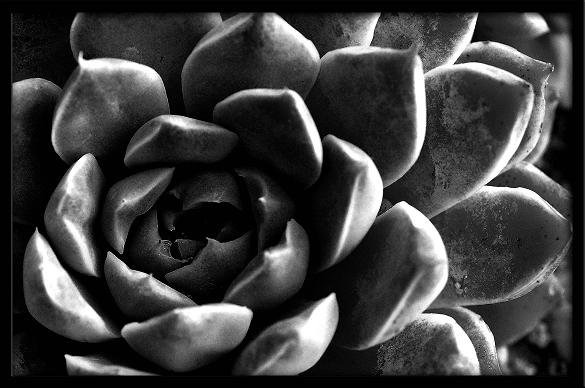 "photo ""Untitled"" tags: nature, black&white, flowers"
