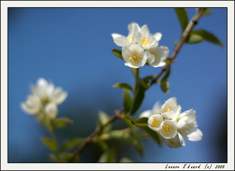 "photo ""Jasmin: Beauty In The Little"" tags: nature, flowers"
