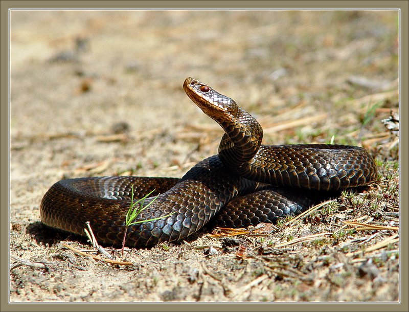 "photo ""Snake picture"" tags: nature, wild animals"