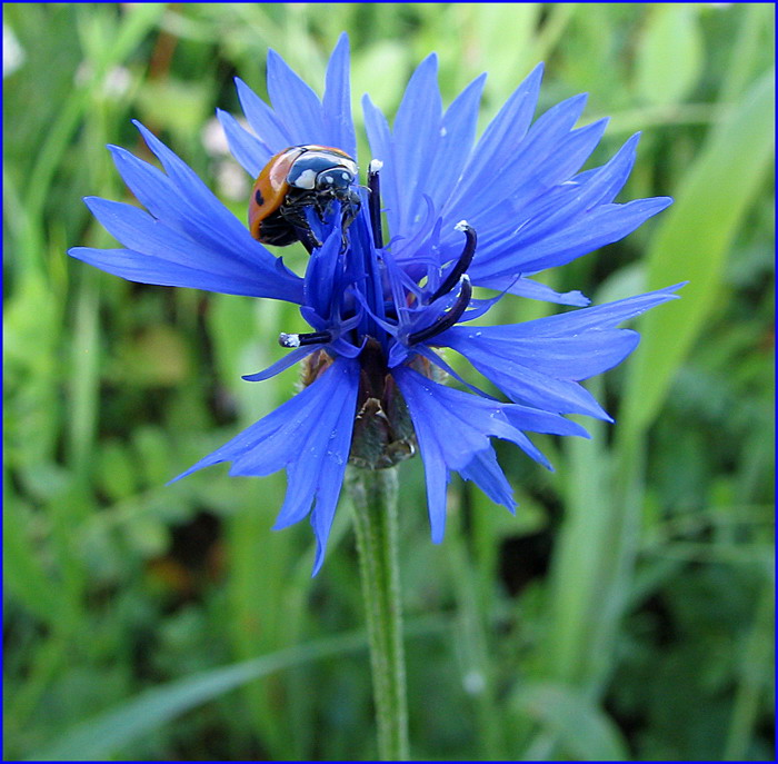 "photo ""History of conquest of a cornflower"" tags: nature, macro and close-up, flowers"