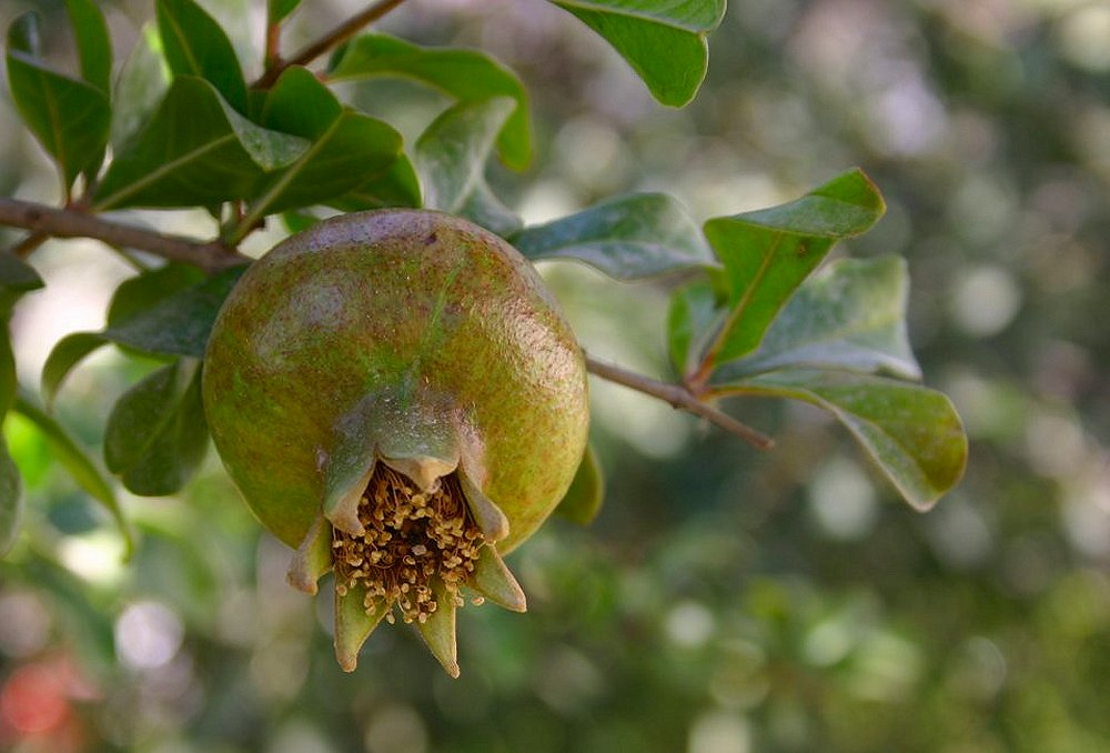 "photo ""The first pomegranate of the season"" tags: nature, flowers"