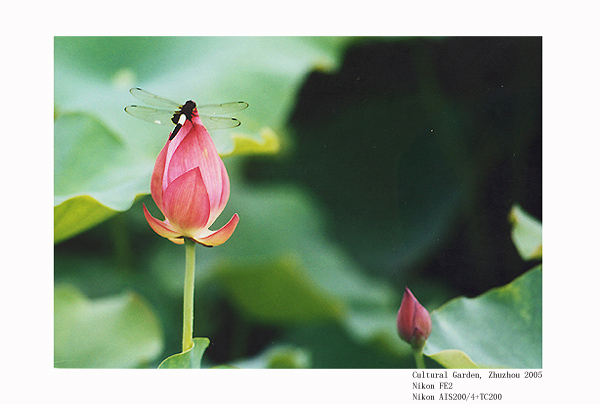 "photo ""Lotus and dragonfly (4)"" tags: nature, flowers"