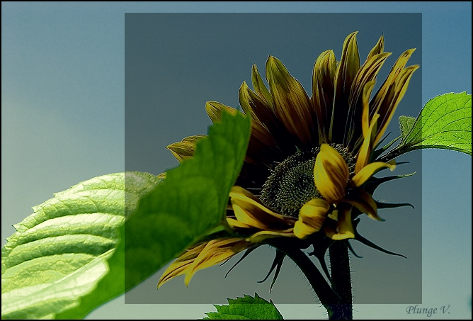 "photo ""... sunflower ..."" tags: nature, montage, flowers"