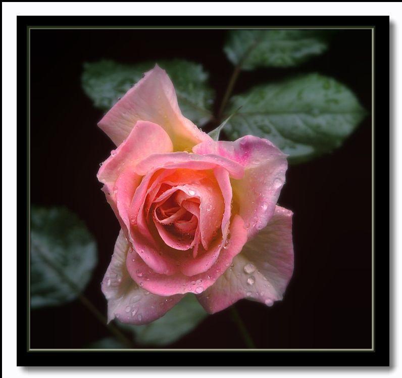 "фото ""Damask rose ""Celsiana"" in memory"" метки: природа, цветы"