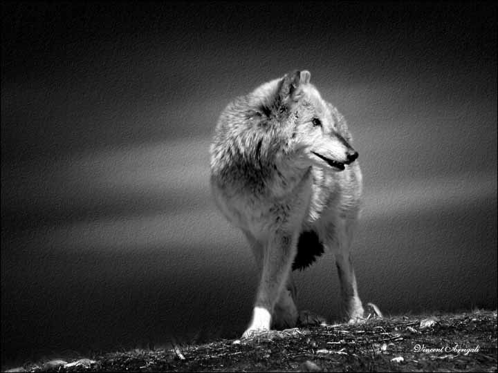 "photo ""Lone Wolf"" tags: nature, wild animals"