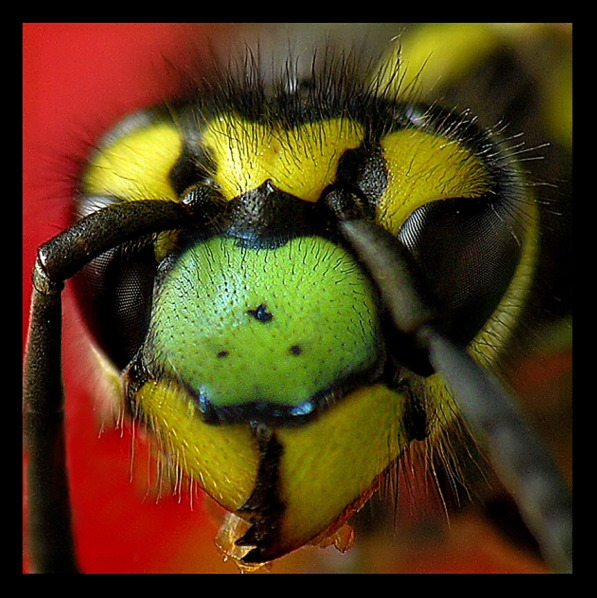 "photo ""wasp"" tags: portrait, macro and close-up,"