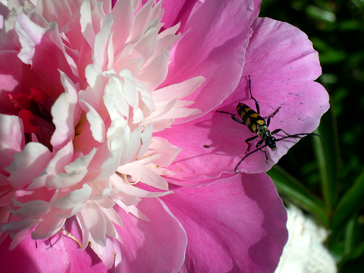 "photo ""a bug and a flower"" tags: nature, flowers, insect"