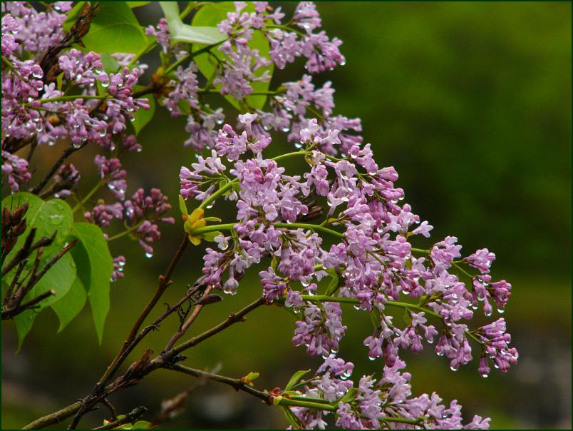"photo ""Lilac in the rain"" tags: nature, travel, Europe, flowers"