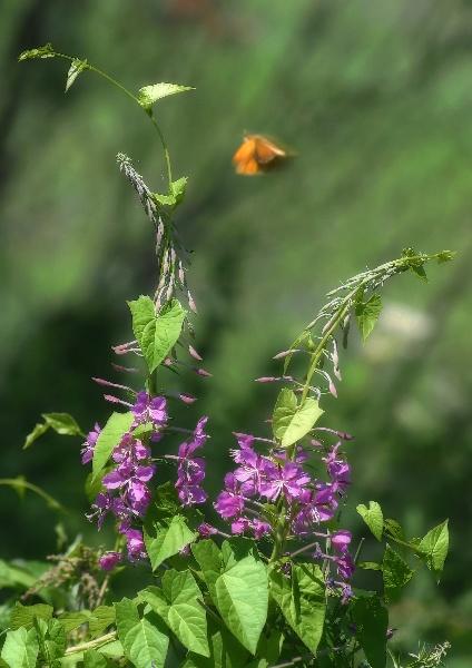"""фото """"Мотылек ..."""" метки: природа, цветы"""