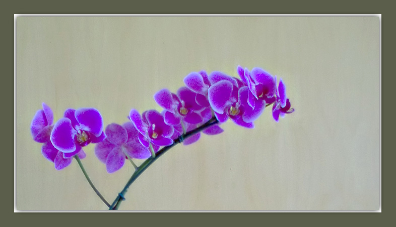 "photo ""Lilac orchid"" tags: still life,"